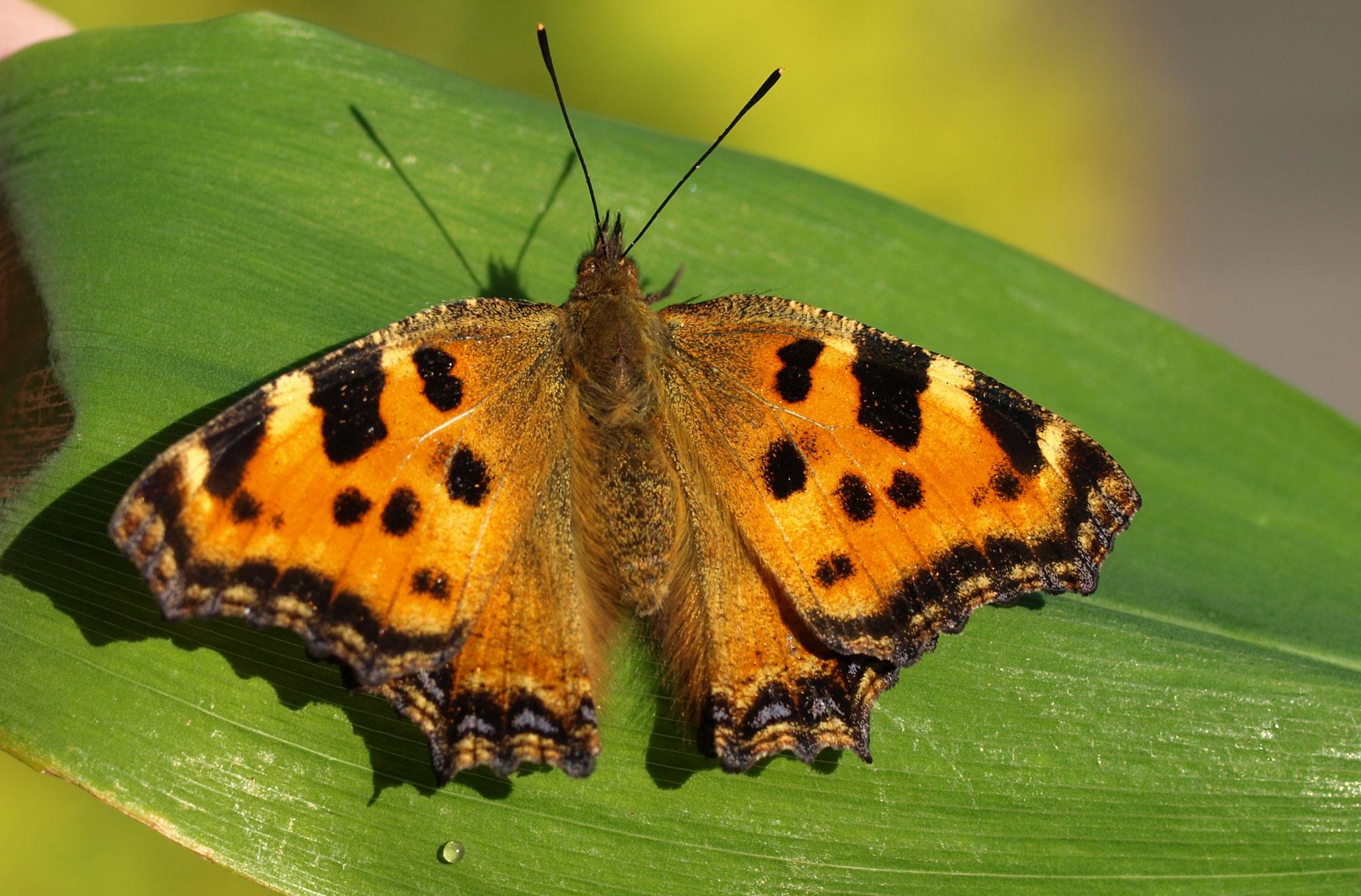 Schmetterlingen Im Garten Helfen Lbv
