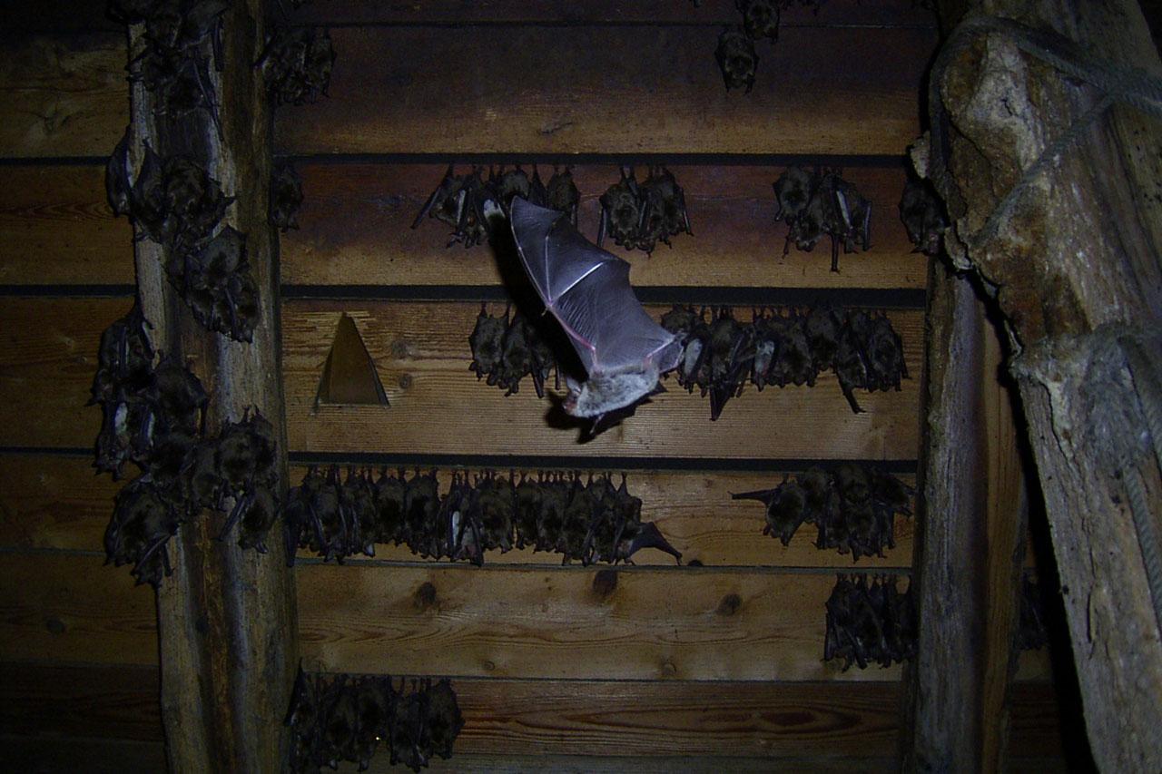 So Können Sie Fledermäusen Am Haus Helfen Lbv