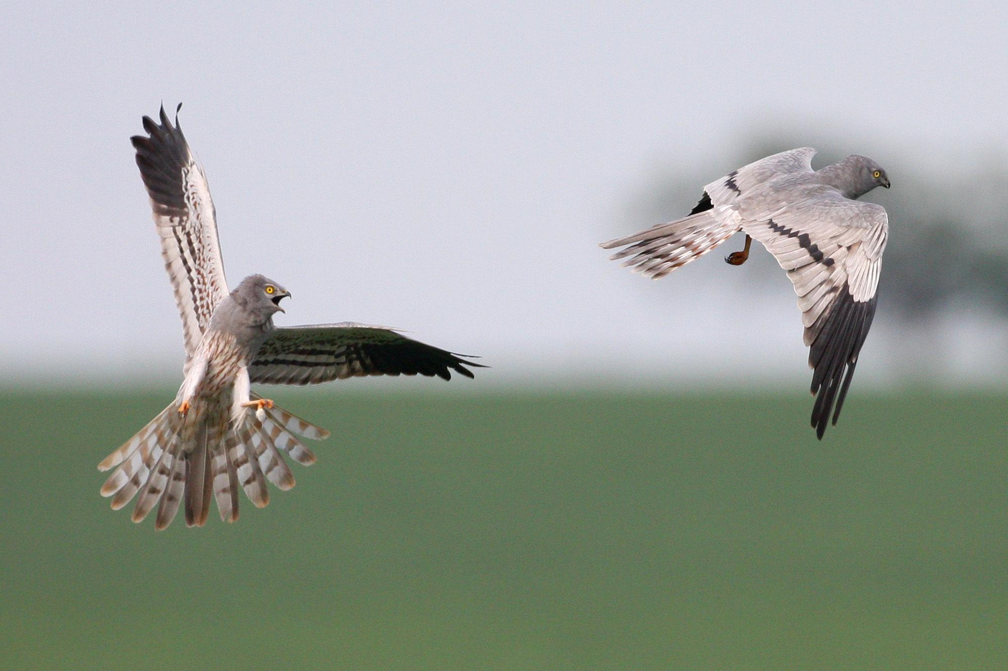 Weihe Vogel