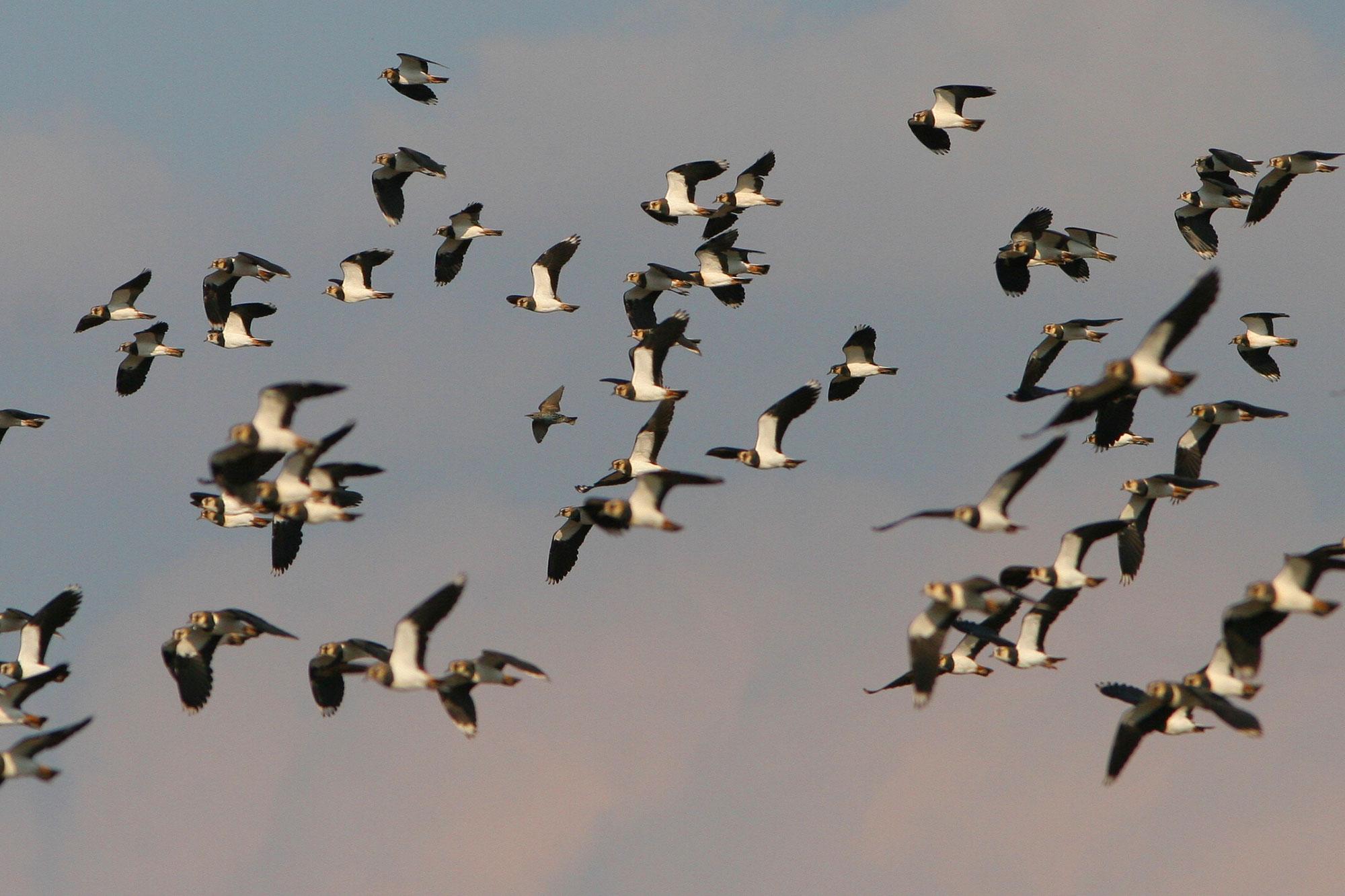 Geschwindigkeit, die Vögel hüte