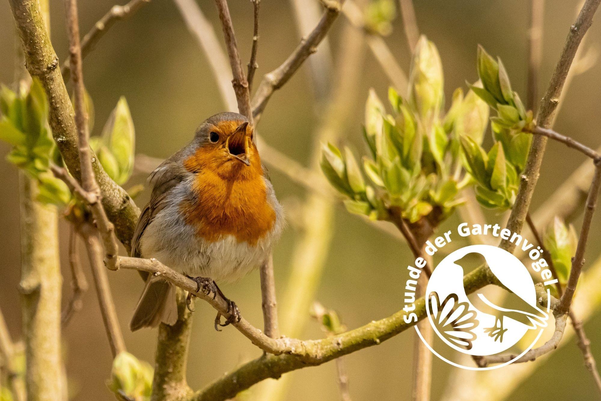 Stunde Der Gartenvogel 2021 Fazit Tag 1 Rotkehlchen Geniesst Vogel Des Jahres Bonus Lbv Gemeinsam Bayerns Natur Schutzen